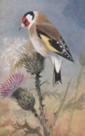 AS75 Birds - Goldfinch By Roland Green - Illustrators & Photographers