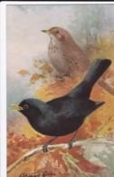 AS75 Birds - Blackbird By Roland Green - Illustrators & Photographers