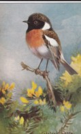 AS75 Birds - Stonechat By Roland Green - Illustrators & Photographers
