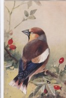 AS75 Birds - Hawfinch By Roland Green - Illustrators & Photographers