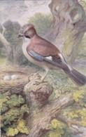 AS75 Birds - Jay By George Rankin - Illustrators & Photographers