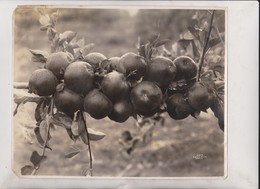 CIDER APPLES SEATTLE WASHINGTON    +- 25*20CM  Fonds Victor FORBIN (1864-1947) - Fotos
