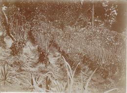 VANILLE PLANTS  GARDENING    +- 16*12CM  Fonds Victor FORBIN (1864-1947) - Fotos