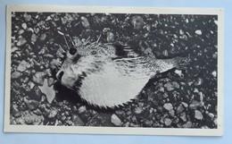 Carte Postale : Ile D' ASCENSION : Poisson Armé, 2 Timbres En 1955, édité Par Plasmarine - Ascensione