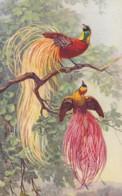 AS76 Animals - Birds - Bird Of Paradise, Signed E.B. - Birds