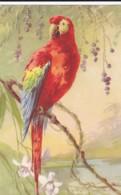 AS76 C. Klein - Birds - Red Parrot - Klein, Catharina