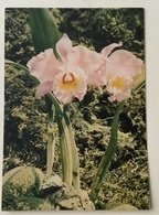 AK  SINDEVEA  ORCHID  ORCHIDEA  ORQUIDEA - Blumen