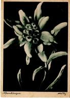 Edelweiss - Alpenkönigin 1944 - Blumen