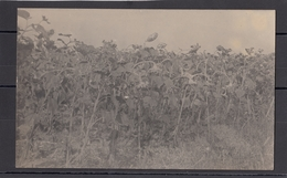 Romania / Roumanie / Rumanien - Plantatie Floarea Soarelui - Photo Made In WW1 By German Soldiers - Romania