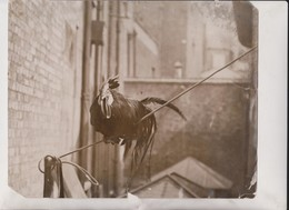 CRAWFORD  COCK  ANIMAUX ANIMALS ANIMALES 25*20CM Fonds Victor FORBIN 1864-1947 - Fotos