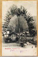 As234 SINGAPORE Traveller's Tree SINGAPOUR Arbre Des Voyageurs 1909 à MENDRONDO Orthez-Max H.HILEKES - Singapore