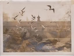 AT THE ZOO SEA LIONS SEAGULLS THIEFS   ANIMAUX ANIMALS ANIMALES TIERE 21*16CM Fonds Victor FORBIN 1864-1947 - Fotos