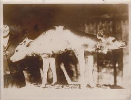 SIAMESE TWIN CALF CATTLE SHOW NEW YORK  ANIMAUX ANIMALS ANIMALES TIERE  21*16CM Fonds Victor FORBIN 1864-1947 - Fotos
