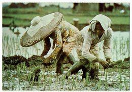 Indonesien, Planting Rice, Indonesia - Indonesien