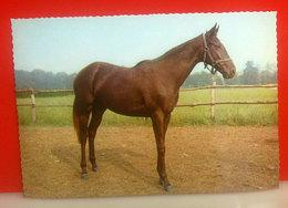 Cavallo Horse CARTOLINA Non Viaggiata - Caballos
