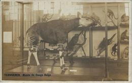 Tervueren.   Musée Du Congo Belge.  -   L'Okapi   -   FOTOKAART! - Tervuren