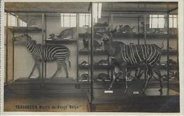 Tervueren.   Musée Du Congo Belge.  -  Zébra Et Bongo.    -   FOTOKAART! - Tervuren