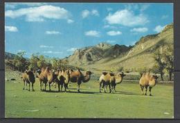 Mongolian Camels. - Mongolei