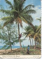 1979 Bahamas - Climbing In Coconut Tree - Kokosnoot Boom - Postkaarten