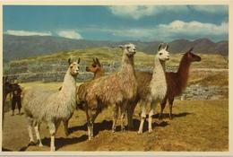 (687) Peru - Group Of Llamas In The Ruins Of Sacsahuaman - Cuzco. - Pérou
