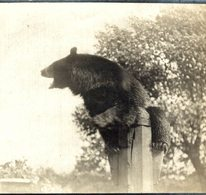 AT THE ZOO OURS BEARS OSOS BEREN   8*8CM Fonds Victor FORBIN 1864-1947 - Fotos
