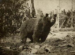OURS BEARS OSOS BEREN   10*8CM Fonds Victor FORBIN 1864-1947 - Fotos