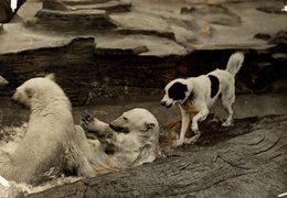 POLAR POLARIS OURS BEARS OSOS BEREN    DOG CHIEN 16*12CM Fonds Victor FORBIN 1864-1947 - Fotos