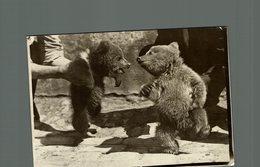 OURS BEARS OSOS BEREN  16*12CM Fonds Victor FORBIN 1864-1947 - Fotos