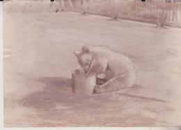 OURS BEARS OSOS BEREN  16*11CM Fonds Victor FORBIN 1864-1947 - Fotos