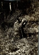 BEAR DRINKS FROM A CAN NEAR FIELD BC OURS BEARS OSOS BEREN  24*16CM Fonds Victor FORBIN 1864-1947 - Fotos