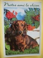 B21 4542 CPM - NOTRE AMI LE CHIEN - CHIEN TECKEL EN TRES GROS PLAN. - Dogs