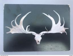 Crâne De Cerf Megaceros Trouvé En Irlande - Fine Arts