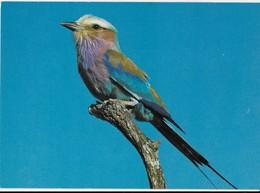 Lilac-breasted Roller Bird South Africa Vintage Postcard - Vögel