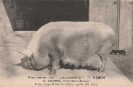 """AGEN - PORCHERIE DE """" LACAPELETTE """" E. DESCOINS PROPRIETAIRE ELEVEUR - TRUIE - COCHON - LARGE WITHE YORKSHIRE - 2 SCANS) - Agen"""