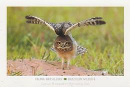BRAZIL / BURROWING OWL - Vögel