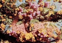 Université De LIÈGE - Institut De Zoologie : Fonds Marins Rocheux (Corse) - Spongiaires - Poissons Et Crustacés