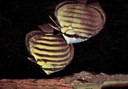 Université De LIÈGE - Institut De Zoologie : Poisson Disque Ou Pompadour - Poissons Et Crustacés