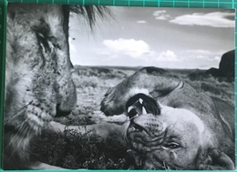 Lions In Tanzania's Serengeti ~ Intimacy ~ Michael 'Nick' Nichols ~ 50 Wildlife Photographer Of The Year - Lions