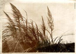 WELL GROWN MISCANTHUS WAVING IN GENTLE BREEZE JAPAN JAPÓN  16,5*12CM Fonds Victor FORBIN 1864-1947 - Fotos