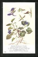 AK British Flowering Plants, Wood Violet - Botanik