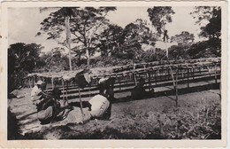 OUBANGUI REPIQUAGE DU CAFE EN PEPINIERE - Centrafricaine (République)