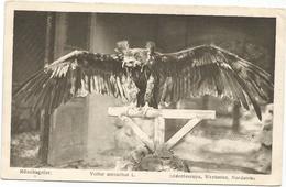 W4275 Vultur Monachus - Monchsgeier Avvoltoio Monaco Vulture Vautour / Non Viaggiata - Uccelli