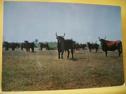 B21 4708 CPSM GM. 1965 - LA CAMARGUE. UNE MANADE AVEC SES CELEBRES COCARDIERS JOFFRE ET LANCIER - Vacas