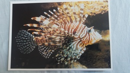 CPM POISSON RASCASSE VOLANTE  AQUARIUM DE LA ROCHELLE ED COUTANT  PHOTO  AQUARIUM N° 8 - Pesci E Crostacei