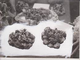 MINIATURE LANDSCAPE CACTUS   FLOWER PLANTS GARDENS  20*14 CM Fonds Victor FORBIN 1864-1947 - Photos