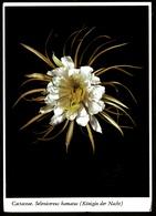 Cactaceae  -  Selenicereus Hamatus  -  Königin Der Nacht  -  Ansichtskarte Ca. 1968    (11789) - Blumen