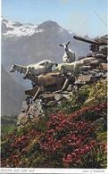 SCHWEIZER ALPWIRTSCHAFT → Ziegen Auf Der Alp, Ca.1920 (J.Gaberell) - Schweiz