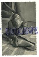 Orang Outan. Jeune Femelle. Jardin Zoologique D'Anvers. Dierentuin Antwerpen. Photo Zoo Nels Thill - Singes
