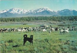 MONGOLIA - A Sheep Dog - Tsetserlig Somon - Hubsugul Aimak - Mongolei