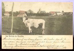 Cpa Assche  1910   Vaches - Asse